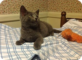 Russian Blue Kitten for adoption in Brooklyn, New York - Pebbles