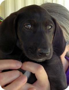 Labrador Retriever/Hound (Unknown Type) Mix Puppy for adoption in East Hartford, Connecticut - Berta-meet me 5/16
