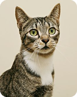 Domestic Shorthair Cat for adoption in Bellingham, Washington - Brianna