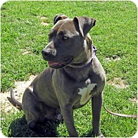Pit Bull Terrier Mix Dog for adoption in Petaluma, California - Remi