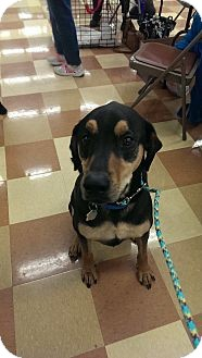 Miniature Pinscher Mix Dog for adoption in waterbury, Connecticut - Louie