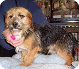 Yorkie, Yorkshire Terrier/Beagle Mix Puppy for adoption in Blackstone, Virginia - Beau