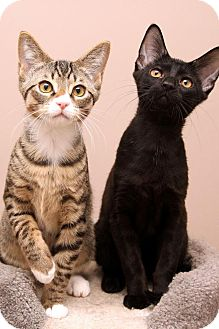 Domestic Shorthair Kitten for adoption in Sterling Heights, Michigan - Cody (Teddy)-Adopted