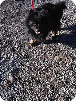 Pomeranian Dog for adoption in Hot Springs, Virginia - Toby