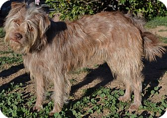 Brussels Griffon/Terrier (Unknown Type, Medium) Mix Dog for adoption in Simi Valley, California - Daisy