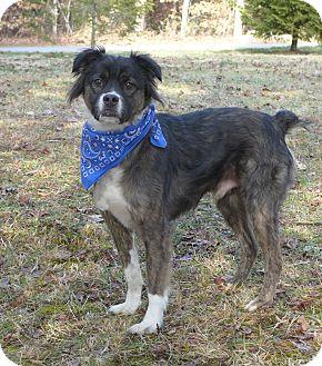 Australian Shepherd/Boxer Mix Dog for adoption in Mocksville, North Carolina - Jackson