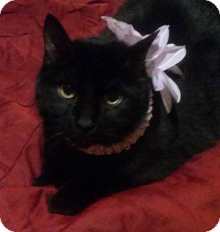 Domestic Mediumhair Cat for adoption in Carrollton, Texas - Ashes