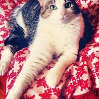 Domestic Shorthair Cat for adoption in Burlington, North Carolina - CUTIE