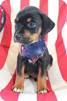 Border Collie/Labrador Retriever Mix Puppy for adoption in Macon, Georgia - Moe
