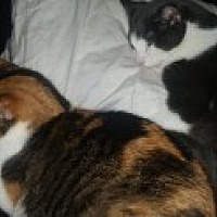 Calico Cat for adoption in Livonia, Michigan - Sissy