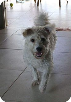 Westie, West Highland White Terrier/Poodle (Miniature) Mix Dog for adoption in Palmetto Bay, Florida - Snow