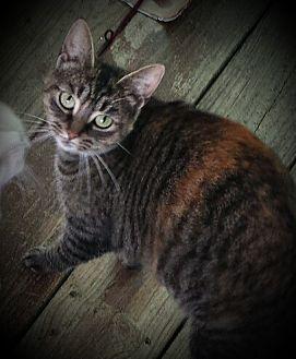 American Shorthair Cat for adoption in Proctorville, Ohio, Ohio - Halo