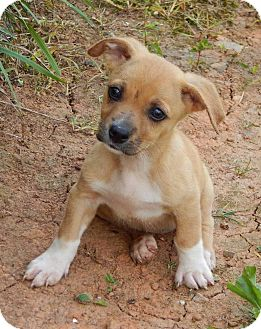 Corgi/Terrier (Unknown Type, Small) Mix Puppy for adoption in West Sand Lake, New York - Charlotte(5 lb) A Character!