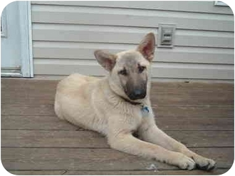 German Shepherd Dog Mix Dog for adoption in Murfreesboro, Tennessee - Jagger