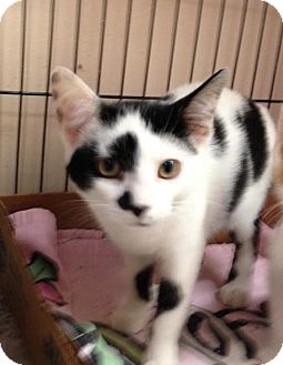 Domestic Shorthair Cat for adoption in East Brunswick, New Jersey - Milly Moo