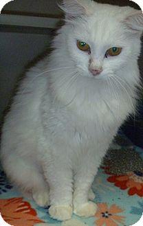 Domestic Longhair Cat for adoption in Hamburg, New York - Aurora