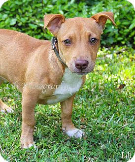 American Pit Bull Terrier/Shar Pei Mix Puppy for adoption in Warner Robins, Georgia - Dollie