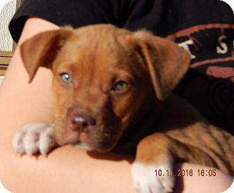 German Shepherd Dog/English Bulldog Mix Puppy for adoption in Niagara Falls, New York - Wrangler (8 lb) Video!