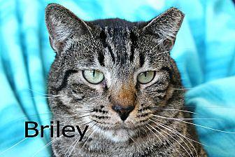 Domestic Shorthair Cat for adoption in Wichita Falls, Texas - Briley