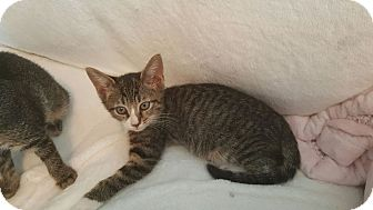 Domestic Shorthair Kitten for adoption in Houston, Texas - Socks