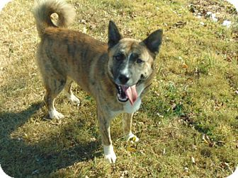 Akita/Shepherd (Unknown Type) Mix Dog for adoption in Portland, Maine - Cosmos