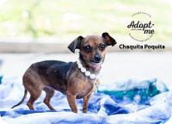 Chihuahua/Dachshund Mix Dog for adoption in Shawnee Mission, Kansas - Chaquita Poquita
