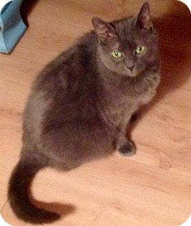 Domestic Shorthair Cat for adoption in Kilmarnock, Virginia - Willow