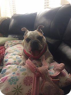 English Bulldog Dog for adoption in Odessa, Florida - Darcy