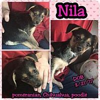 Adopt A Pet :: Nila - Phoenix, AZ