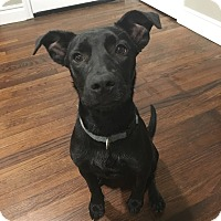 Adopt A Pet :: Beatrix - oklahoma city, OK