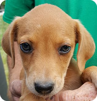 Labrador Retriever Mix Puppy for adoption in Colonial Heights, Virginia - Vermont