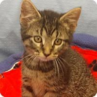 Adopt A Pet :: Mr. Meowgi - Greenville, IL