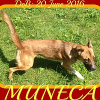 Border Collie/German Shepherd Dog Mix Dog for adoption in New Brunswick, New Jersey - MUNECA