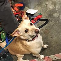 Adopt A Pet :: Buddy 1 - Las Vegas, NV