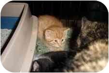 American Shorthair Kitten for adoption in Waynesburg, Pennsylvania - Chance