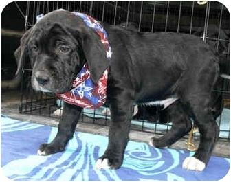 Basset Hound/Labrador Retriever Mix Puppy for adoption in Sacramento, California - Charlie boy