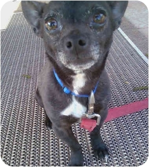 Chihuahua Mix Dog for adoption in Powell, Ohio - Louie