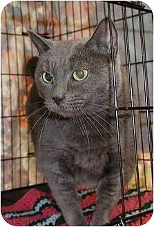 Domestic Shorthair Cat for adoption in Clementon, New Jersey - Boo-Dah
