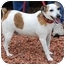 Photo 2 - Jack Russell Terrier Dog for adoption in Athens, Ohio - Eddie-UPDATED