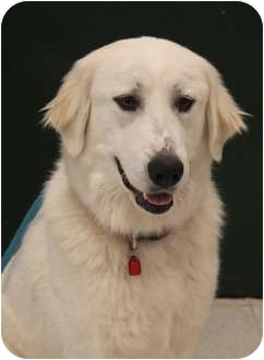 Great Pyrenees Dog for adoption in Wichita, Kansas - Pyper
