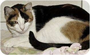 Domestic Shorthair Cat for adoption in Houston, Texas - Amber