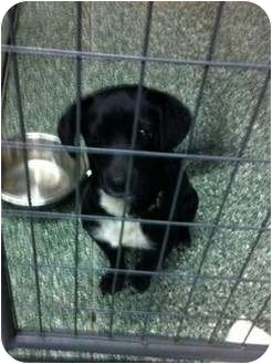 Corgi/Labrador Retriever Mix Dog for adoption in Simi Valley, California - Darcy