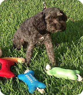 Poodle (Miniature)/Schnauzer (Miniature) Mix Dog for adoption in Irvine, California - Candy