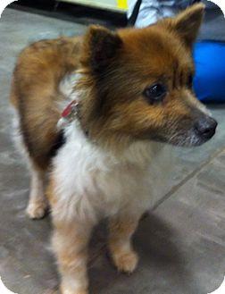 Pomeranian/Sheltie, Shetland Sheepdog Mix Dog for adoption in Loudonville, New York - Biscuit