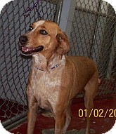Foxhound Mix Dog for adoption in Silver City, New Mexico - Fox Trot