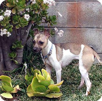 Chihuahua/Whippet Mix Dog for adoption in Arcadia, California - Sasha