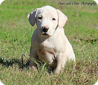 Labrador Retriever/American Staffordshire Terrier Mix Puppy for adoption in Lawrenceville, Georgia - Jason