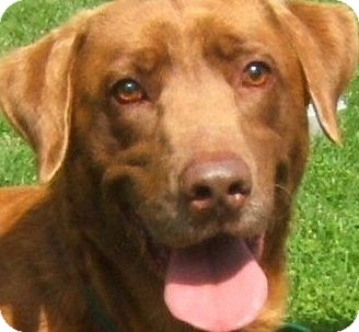 Labrador Retriever Puppy for adoption in Wakefield, Rhode Island - BOSCO(GORGEOUS PB LAB PUPPY!