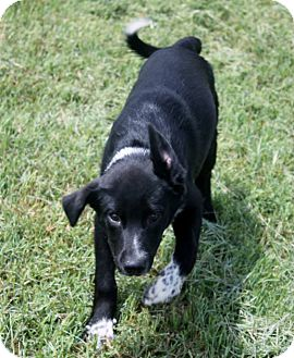 Border Collie/Blue Heeler Mix Puppy for adoption in Joshua, Texas - Emmett