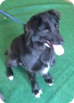 Australian Shepherd Dog for adoption in Fairview Heights, Illinois - Buddy